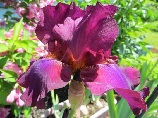 Hot Spiced Wine (Iris germanica (Orris))