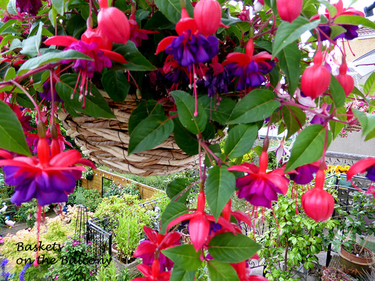 Fuchsia on the Balcony, that looks a long way down !