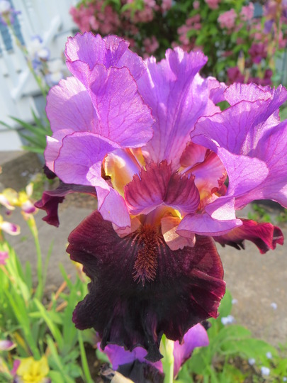 Iris I'm Back (Iris germanica (Orris))
