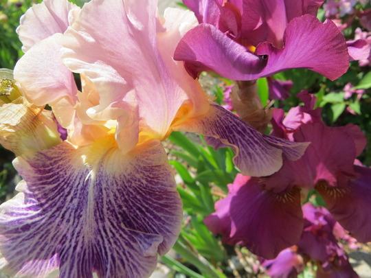Sharing the spotlight with Hot Spiced Wine (Iris germanica (Orris))