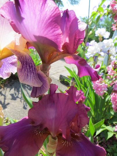 iris garden front walk (Iris germanica (Orris))