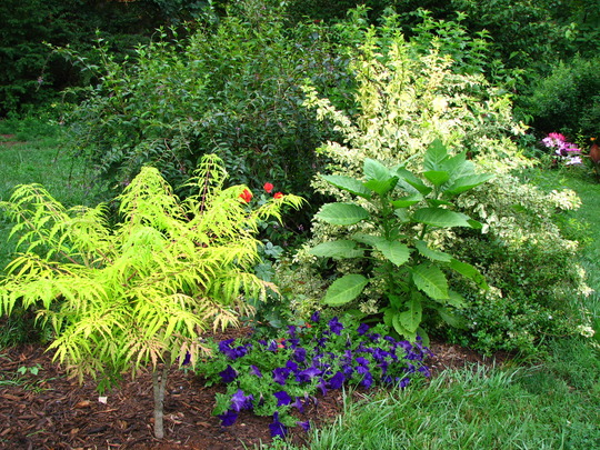 Rhus typhina 'Tiger Eyes'  Love the foliage color on this one,it holds this color all season long.