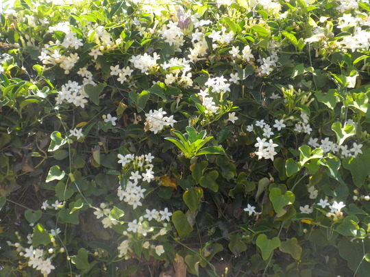 Stephanotis floribunda - Madagascar Jasmine (Stephanotis floribunda - Madagascar Jasmine)
