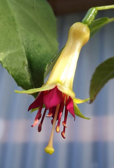 Fuchsia 'Tarra Valley'