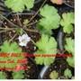 Geranium_pyrenaicum_white