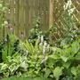 Primula vialii, Tiarella Spring Symphony, Aconitum and Hostas  (Primula vialii)