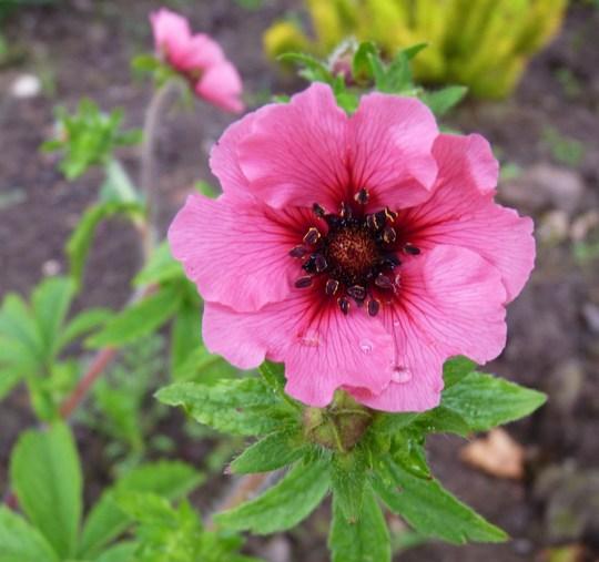 Potentilla 'Miss Wilmott'...a pretty colour. (Potentilla nepalensis (Cinquefoil Miss Willmott))