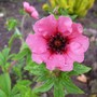 Potentilla 'Miss Wilmott'...a pretty colour. (Potentilla nepalensis (Cinquefoil Miss Willmott))