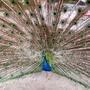 Peacock at Safari Park