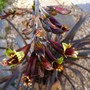 For my records, new plant Phormium 'Platts Black' (Phormium tenax (New Zealand flax))