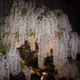 This is my white wisteria befor Being Bonsaid.