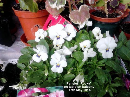 Pansies 'Rocky' on table on balcony 17-05-2014 (Viola x wittrockiana)