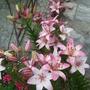 Lilies_amongst_pots_2_
