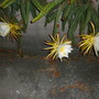 Dragon Fruit Flowers (Hylocereus undatus) (Dragon Fruit Flowers (Hylocereus undatus))