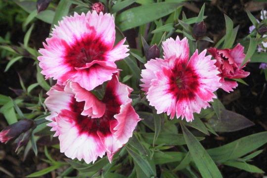 """Dianthus """"Strawberry Parfait"""" (Dianthus chinensis (strawberry parfait))"""