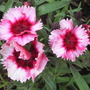 "Dianthus ""Strawberry Parfait"" (Dianthus chinensis (strawberry parfait))"
