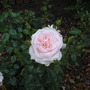 Rose - A Whiter Shade Of Pale