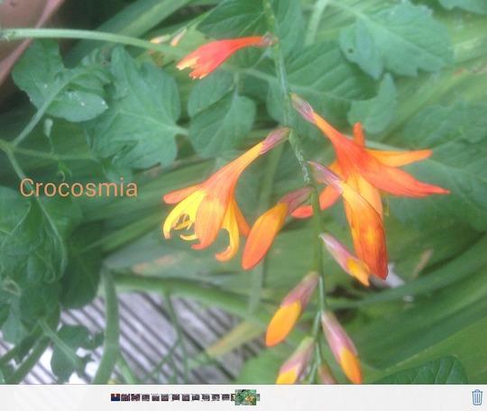 Crocosmia