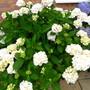 Hydrangea 'mme e. mouillere' (Hydrangea 'mme e. mouillere')