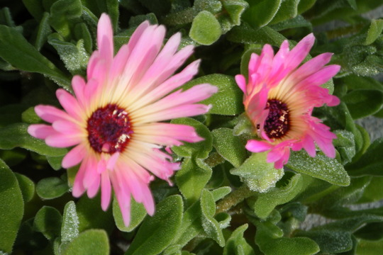 lvingstone daisy close up (Mesembryanthemum crystallinum (Buzotu))