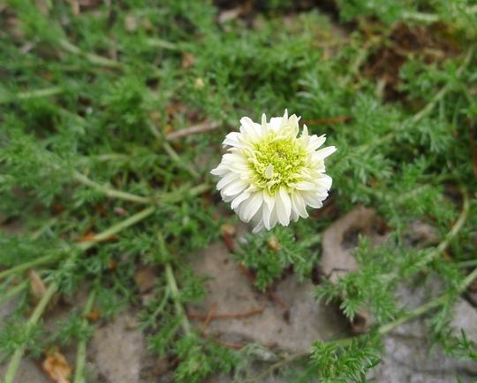 Chamaemelum nobilis 'Flore Pleno' - 2014 (Chamaemelum nobilis)