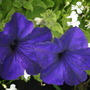 petunia and lobelia (Petunia surfinia)