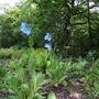 blue Meconopsis (Meconopsis betonicifolia)