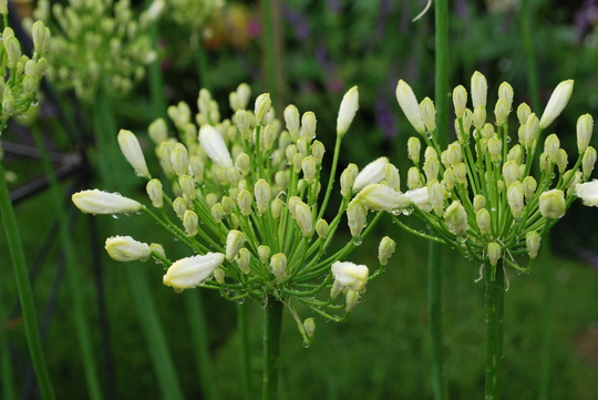 White Agapanthus ready to go.... (Agapanthus campanulatus (African blue lily) White)