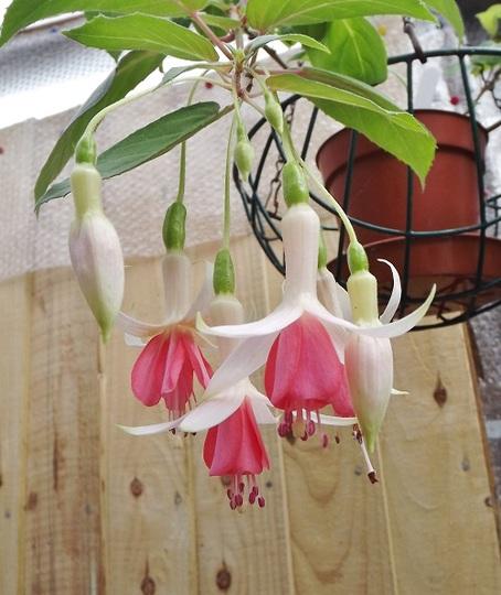Fuchsia 'Hidcote Beauty'