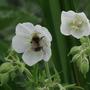 Albiflorum 5  (Geranium pratense (Meadow cranesbill))