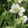 Albiflorum 8  (Geranium pratense (Meadow cranesbill))