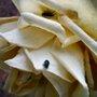 Rose_bugs_140625_1_