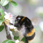 Bumble Bee - the wonder of spring