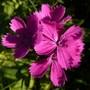 Dianthus Carthusianorum - Close-up (Dianthus carthusianorum (Clusterhead Pink))