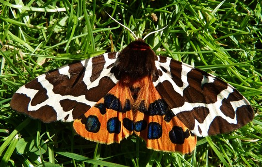 Just for me....another Tiger Moth came along...healthy one this time!