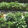 back yard full of organic vegetables in raised beds
