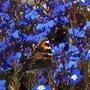 butterfly lobelia 1