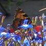 butterfly lobelia 2