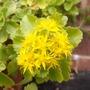 sedum flower (Sedum rupestre)