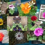 Collage of some of my garden flowers