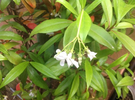 Jasmine (Trachelospermum jasminoides (Star jasmine))