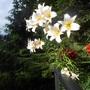 Lilium regale (Lilium regale)