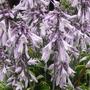 Hosta in flower. (Hosta fortunei (Plantain lily))