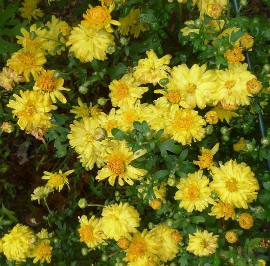 Chrysanthemum 'Nantyderry Sunshine' (Chrysanthemum)