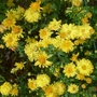 Chrysanthemum_nantyderry_sunshine_2014