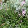 Verbena officinalis var grandiflora 'Bampton' (Verbena officinalis var grandiflora)