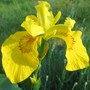 spuria iris (Iris pseudacorus (Yellow Flag))