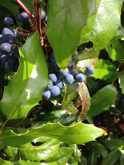 Are these Bilberries?