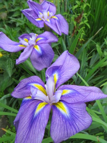 Pivotee Wonder iris (iris ensata)