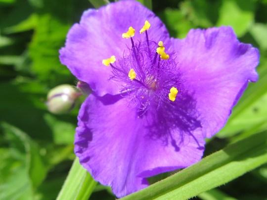 spiderwort tradescantia (Tradescantia virginiana (Spiderwort))